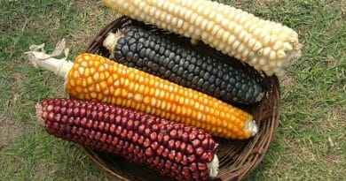 corn types 25467tyr
