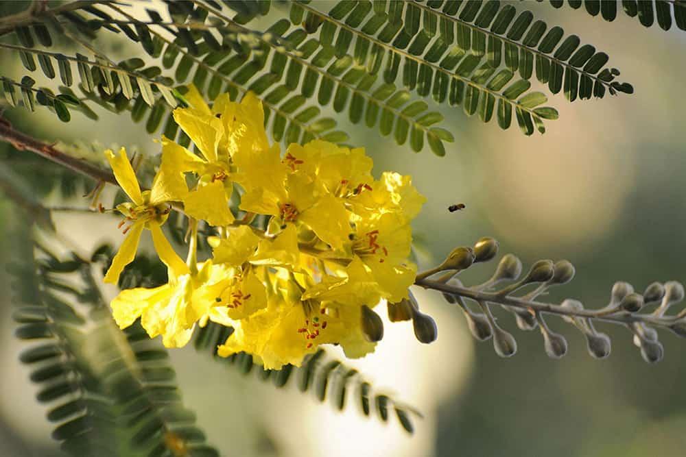 acacia tree flowerjpg